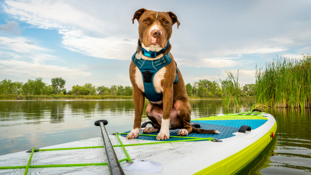 Dog On Paddle Board In Shallow Water
